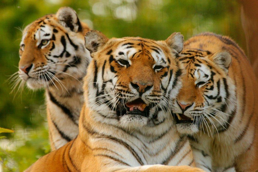 Amur Tigers at Paradise Wildlife Park