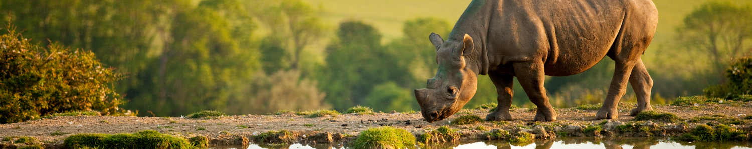 A Rhino at Livingstone Lodge, Kent