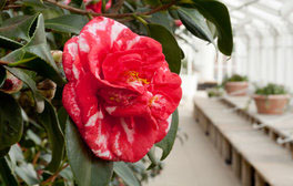 Chiswick House and Garden, London - Camellia japonica 'Parksii'