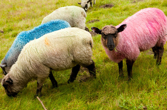 Sheep dyed pink and blue at Latitude Festival - one of the best festivals in England