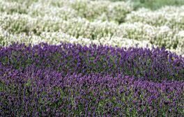 Cotswold Lavender, Broadway (c) VisitEngland