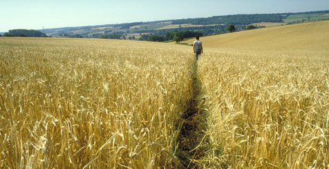 Wheat Field in Buckinghamshire, England