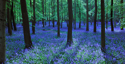 Bluebell Forest in Hertfordshire