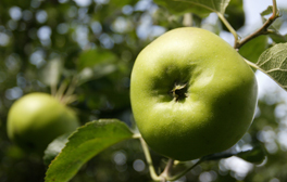 Visit the home of the Bramley Apple in Nottinghamshire