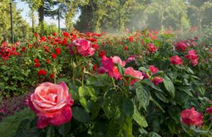 Rose gardens at Blenheim Palace