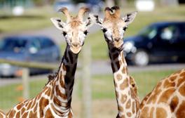 Go on a safari adventure at Woburn Safari Park