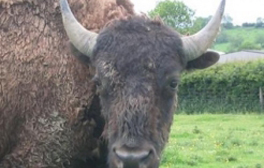 Come face to face with bison in Leicestershire
