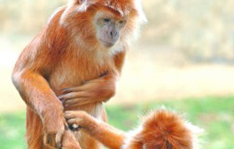 Get marrried with the monkeys at Twycross Zoo