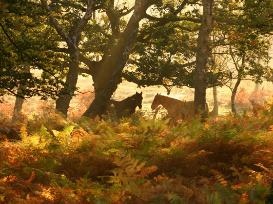 New Forest Ponies ©The New Forest