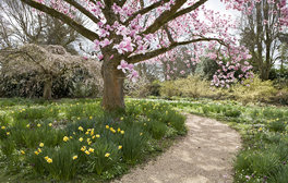 Nymans, West Sussex - Magnolia tree in April (c)National Trust Images, David Levenson