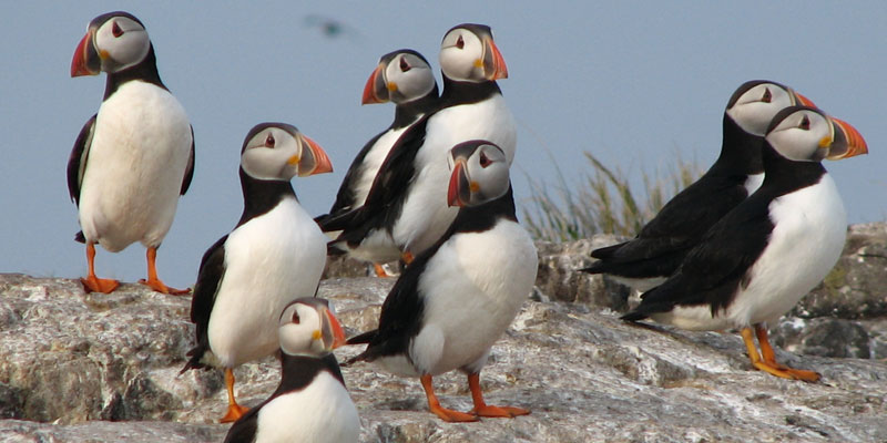Puffins on the Farne Island