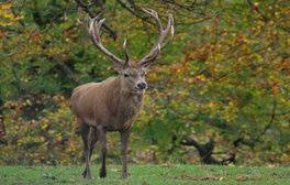 Calke Abbey, Derbyshire - Red deer stag during the run (c)National Trust Images, Gillian Day LRPS