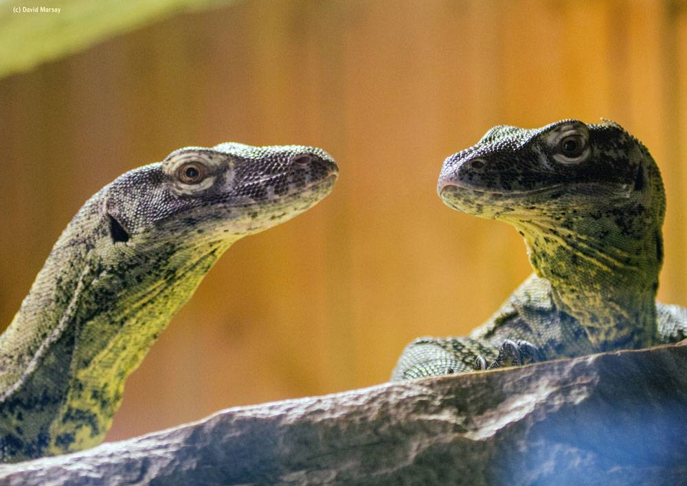 A close up of two komodo dragons at Colchester Zoo