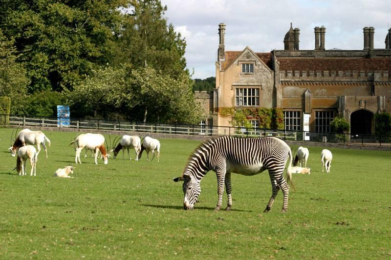 A zebra grazes outside the grand Marwell Hall