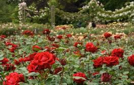 Queen Mary's Gardens, Regent's Park, London (c)Anne Marie Briscombe