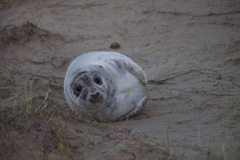 Seal pup relaxing on the sands of Blakeney Point in Norfolk © Alex Williams