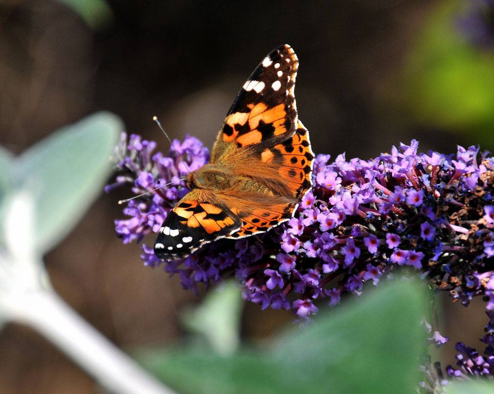 Monarch butterfly, Yorkshire's Nature Triangle