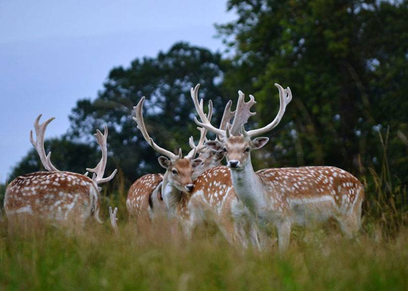 Deer at Attingham Park