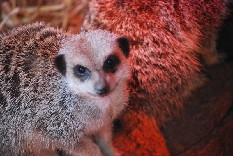 Meerkat at Banham Zoo