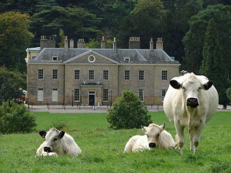 Elegant cows grazing outside Stanmer House near Brighton