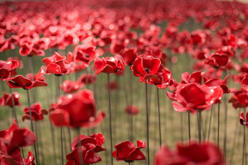 A close-up of the Weeping Window of poppies