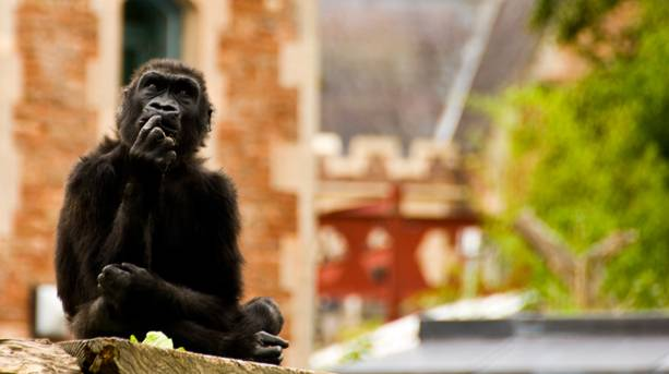 Gorilla at Bristol Zoo Gardens © Jon Lewis