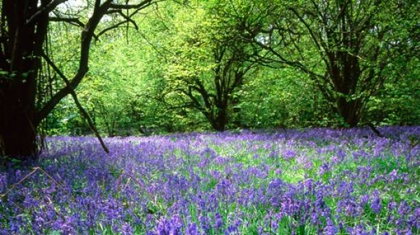 The National Forest & Beyond - Bluebell Woods at Yoxall Woods