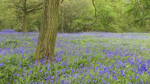 The National Forest & Beyond - Bluebell Woods at Yoxall Woods, Graham Argent