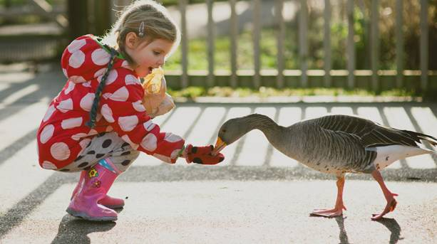 A little girl feeding a goose at WWT Martin Mere Wetland Centre, Lancashire