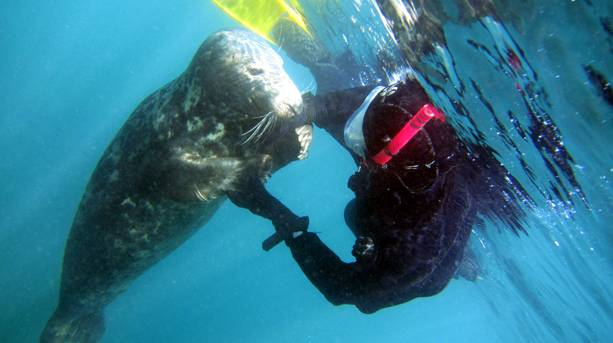 A diver swimming with seals with Scilly Seal Snorkelling, St Martin's, Isles of Scilly