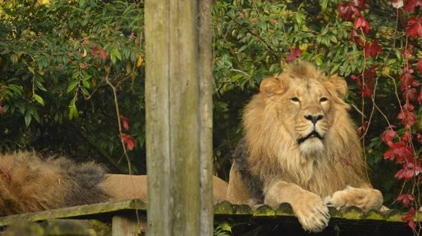 Lion at Bristol Zoo Gardens