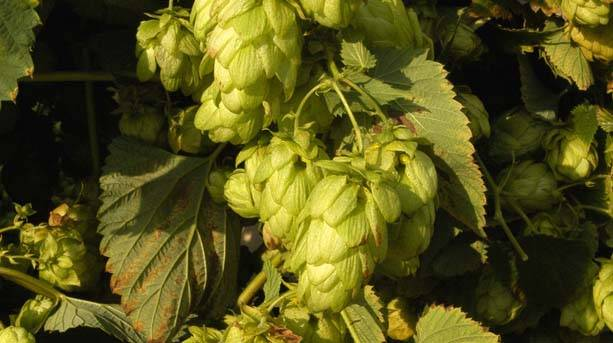 Faversham hops