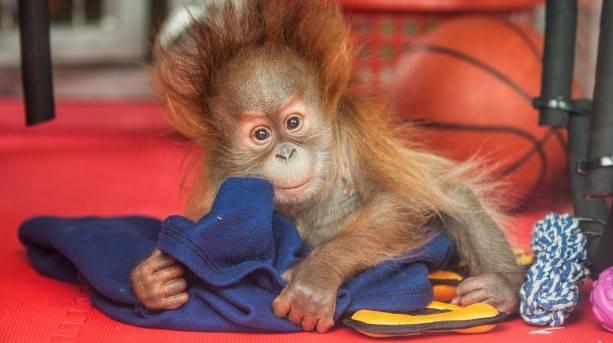 A baby monkey of Monkey World