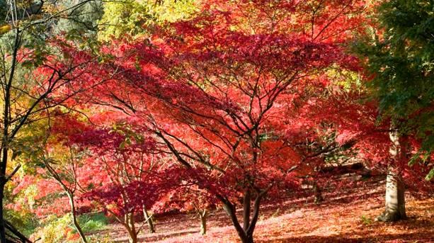 Autumn leaves at Batsford Arboretum