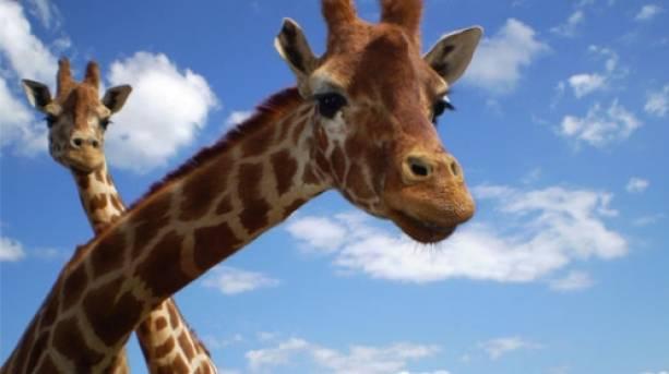Giraffes at Blackpool Zoo