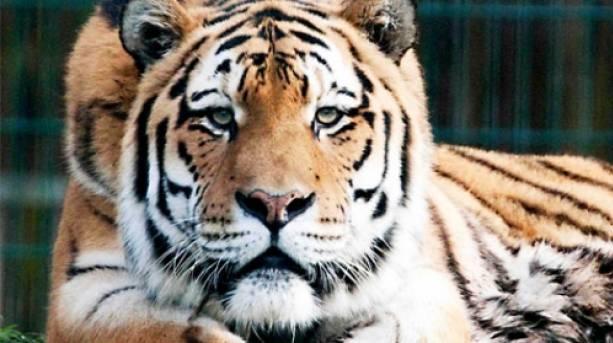 Tiger of Blackpool Zoo
