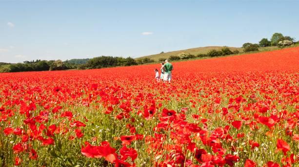 Blackstone Farm Poppy Field