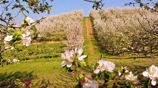 The UK's only Blossom Trail in the Vale of Evesham