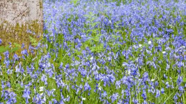 Bluebells in the Wye Valley