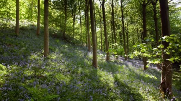 Bluebells in North York Moors woodland