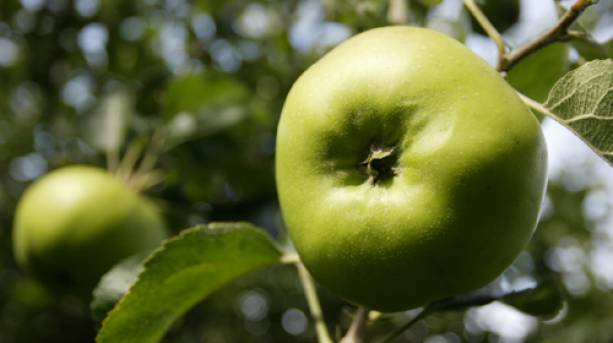 Some Bramley Apples growing on a tree