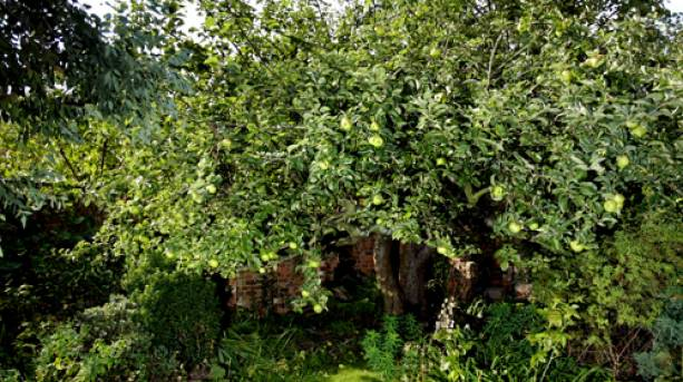 The original Bramley Apple Tree in Southwell, Nottinghamshire