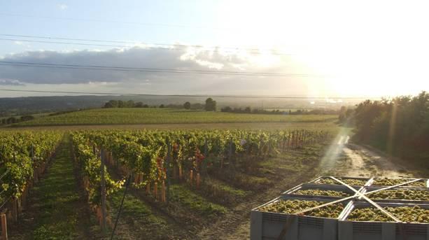 Chapel Down vineyards