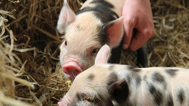 KuneKunePiglets at Adam Henson Cotswolds Farm Park