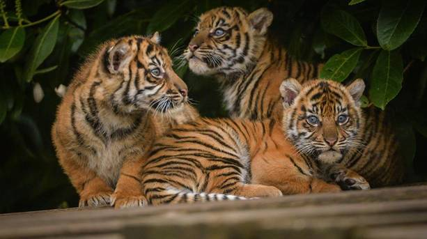 Tiger cubs at Chester Zoo