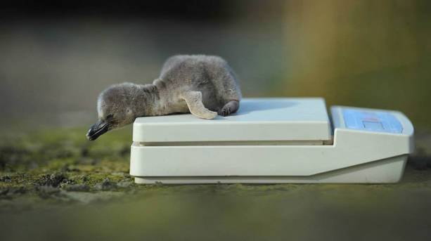 Four humboldt penguin chicks hatched at Chester zoo in April 2014