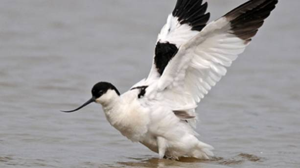 The elegant avocets return to nest ont he marshes from mid March
