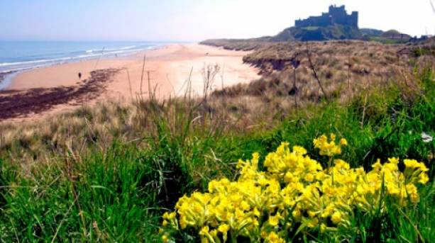 Blooming sand dunes on Bamburgh Beach