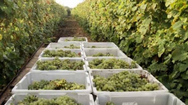 Harvest time at Dedham Vale Vineyard