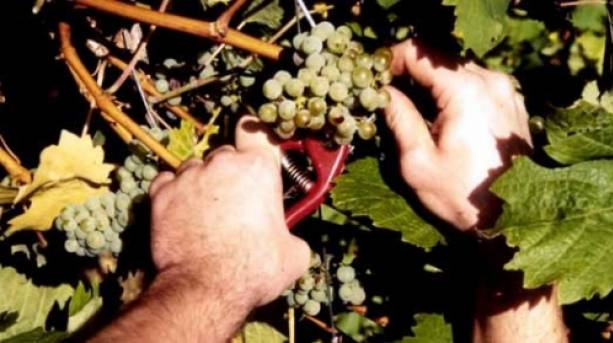 Picking the grapes at Dedham Vale vineyard